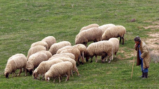 Стадо овце и овачар