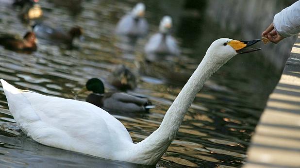 лебед, парк
