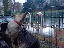 нени, куче, холандия