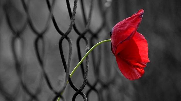 цвете, мак, ограда