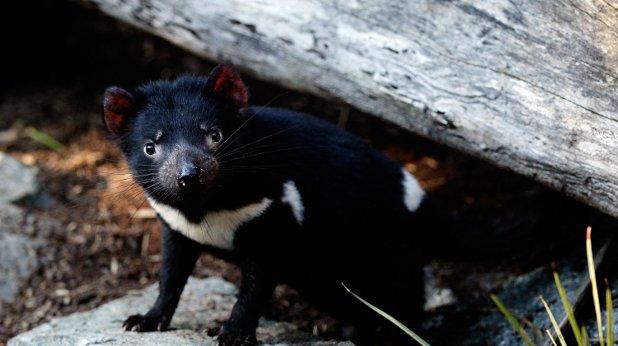 тасманийски дявол
