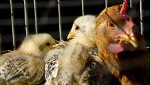 Кокошка с пилета