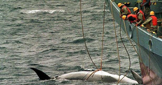 лов на китове