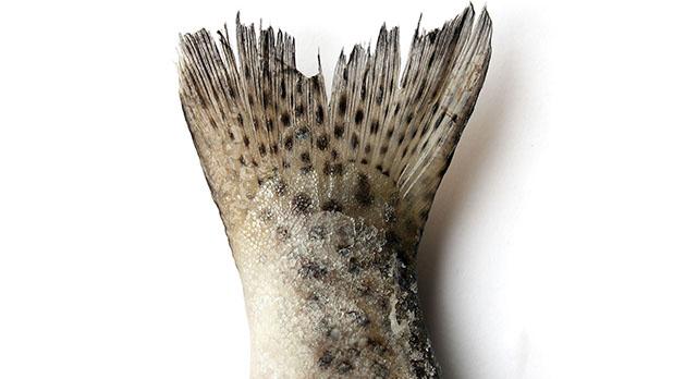Рибена опашка 75х81