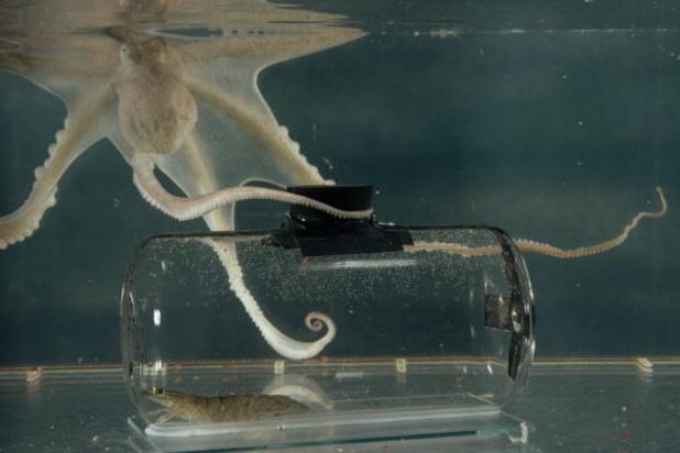 Октопод в аквариум отваря корковата тапа от буркан, в който е поставена скарида