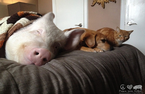 Двойка си взема мини прасе, което обаче става голямо