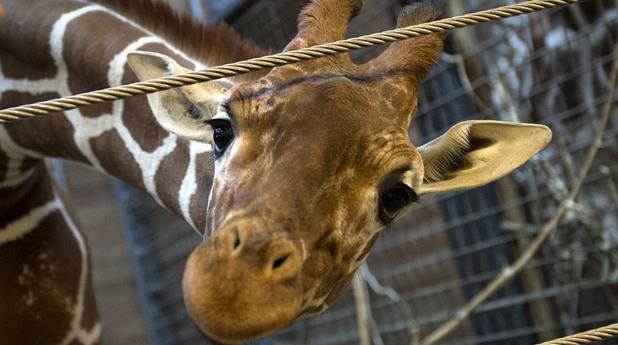 Жирафът Мариус