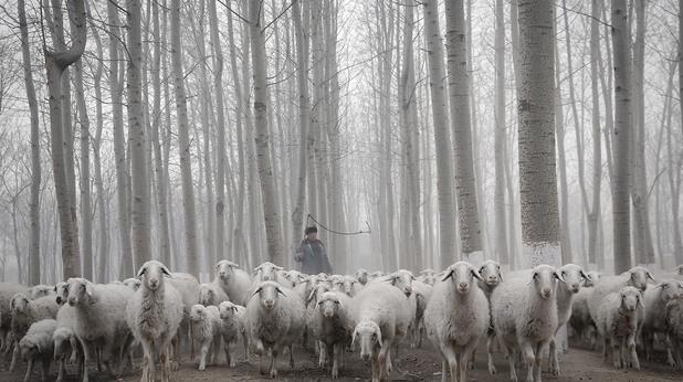 Стадо oвце