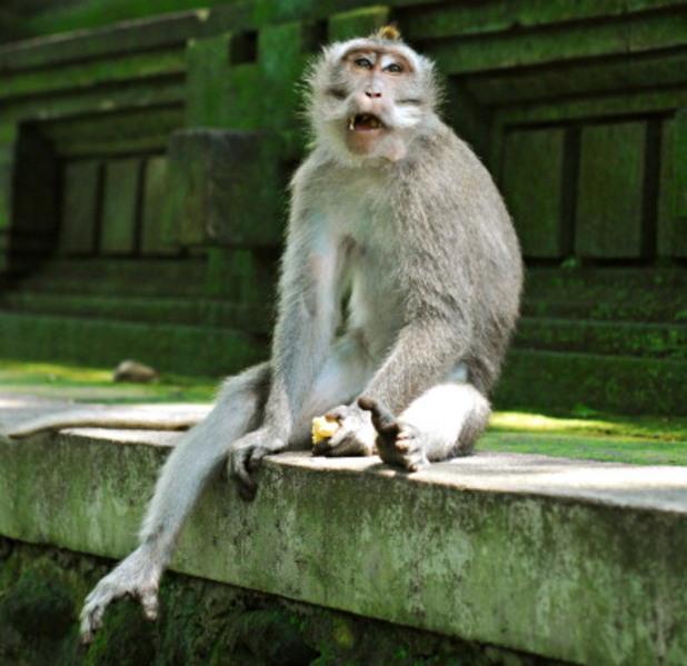 маймуна, бали, индонезия