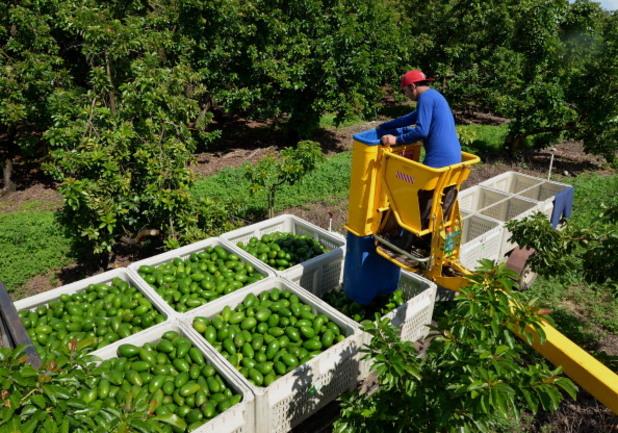 Произвoдство на авокадо, Калифорния, САЩ