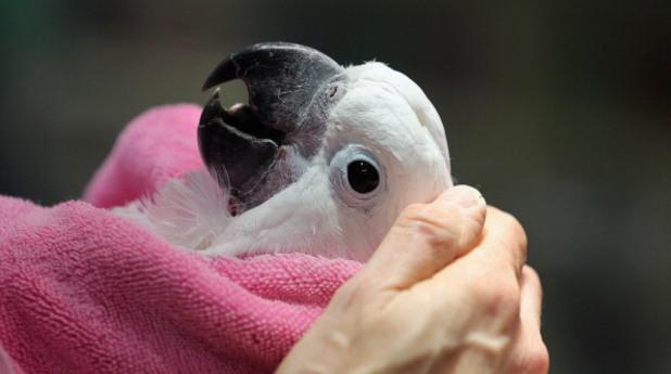 какаду, птица