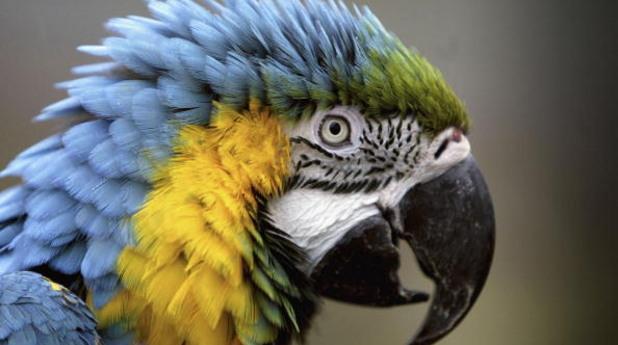 папагал, птица