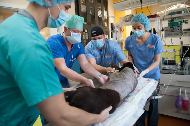 Резултат с изображение за уникална операция на куче водач