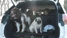 кучета в кола