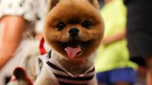 пудел, куче, кученце, домашен любимец, домашно животно