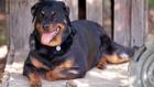 куче, ротвайлер, голямо куче, домашен любимец