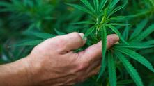 канабис, марихуана, трева, джойнт