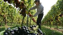 винарна, лозя, лозе, гроздобер, грозде
