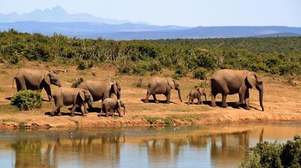 Африкански слонове