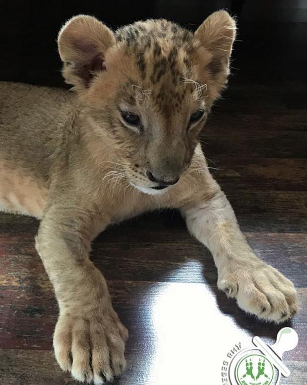 лъвчетата от разград