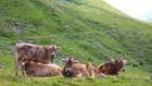 Швейцарски крави