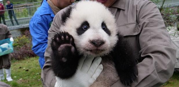 панда, панди