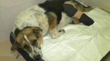 куче мими, куче с отрязани крака