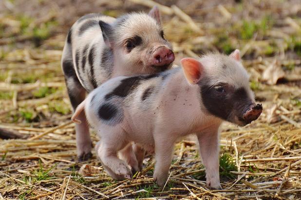 прасета, прасенца, две прасенца, прасе, свине